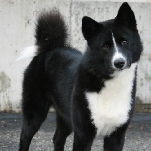 karelian bear dog picture gallery