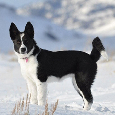 Karelian Bear Dog  Revolvy
