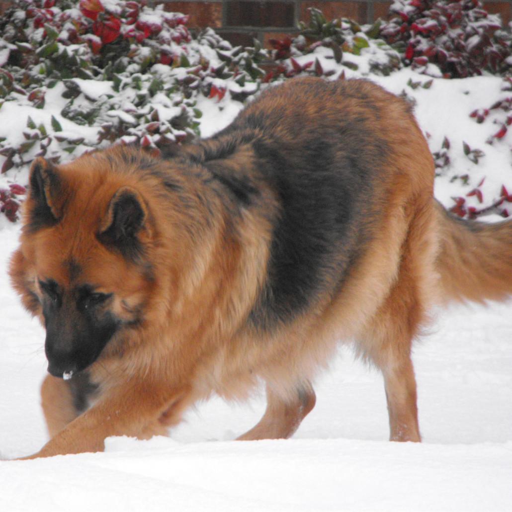 King Shepherd Breed Guide Learn About The King Shepherd