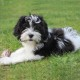 Lagotto Romagnolo Breed Guide - Learn about the Lagotto ...