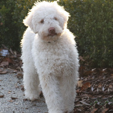 Lagotto Romagnolo Breed Guide Learn About The Lagotto