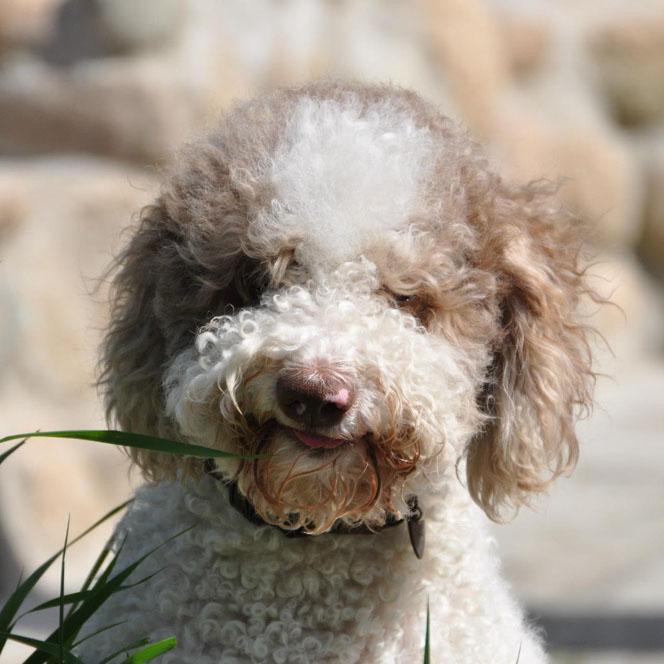 Good Dog In Italian