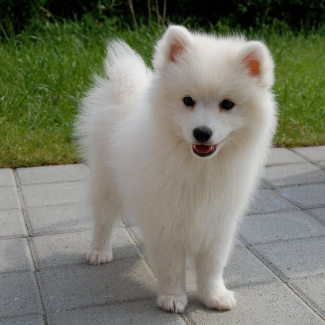 Japanese Spitz Breed Guide Learn About The Japanese Spitz