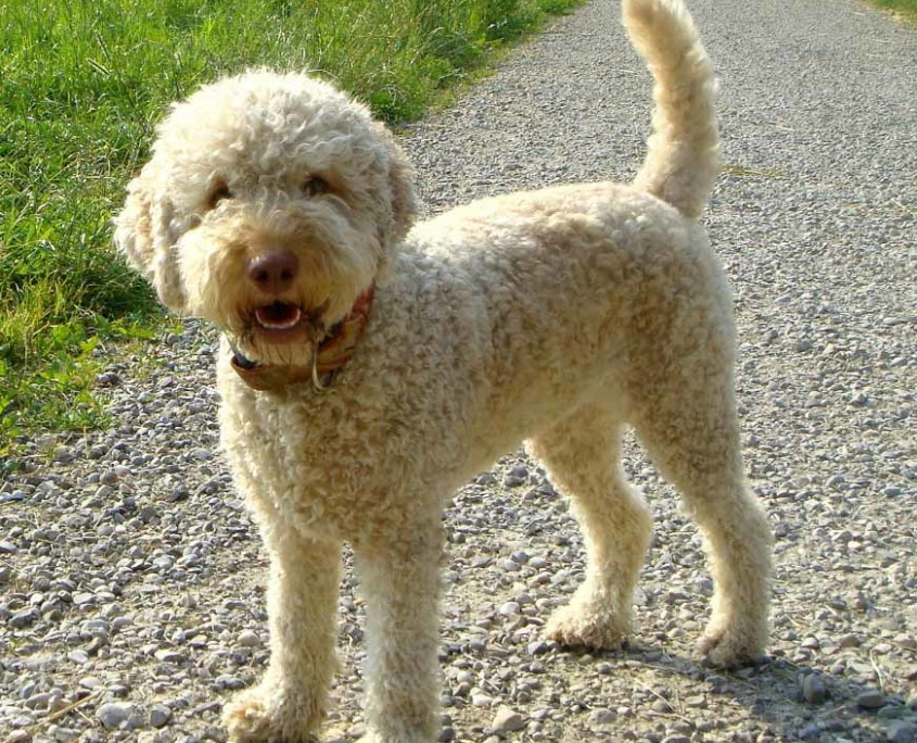 Lagotto Romagnolo Breed Guide - Learn about the Lagotto