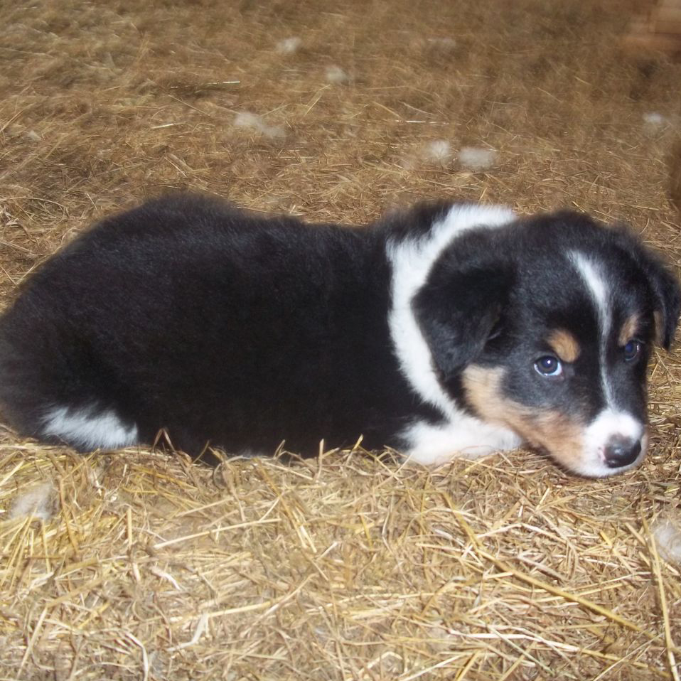 Welsh Sheepdog Breed Guide Learn About The Welsh Sheepdog