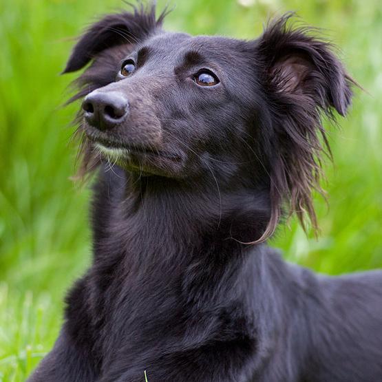 Laid Back Long Haired Dog Breeds