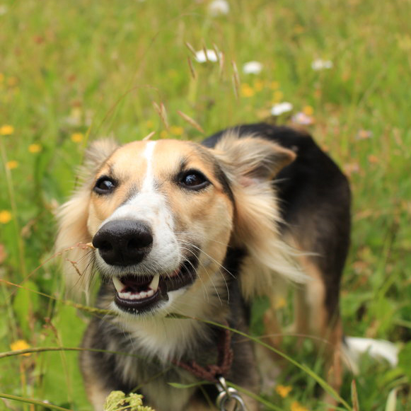 Longhaired Whippet Breed Guide Learn About The