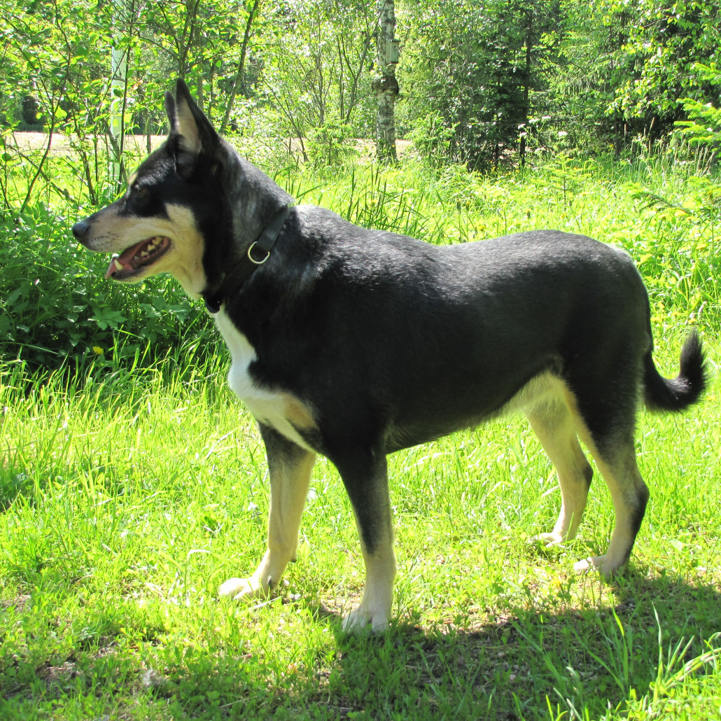 Lapponian Herder Breed Guide Learn About The Lapponian