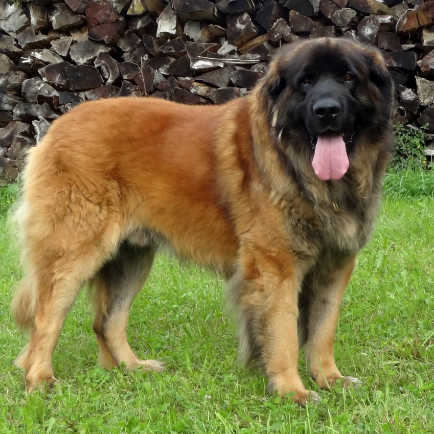 Leonberger Breed Information Leonberger Puppies For Sale ...