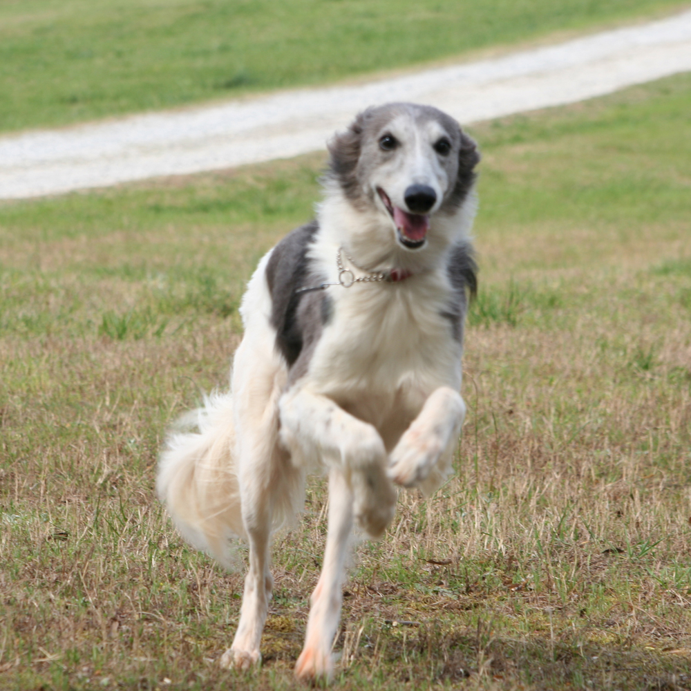 longhaired whippet breed guide