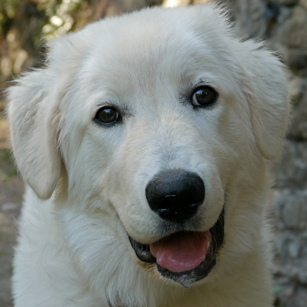maremma puppies maremma sheepdog breed guide learn about the maremma 989