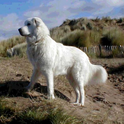 Maremma Sheepdog Breed Guide Learn About The Maremma