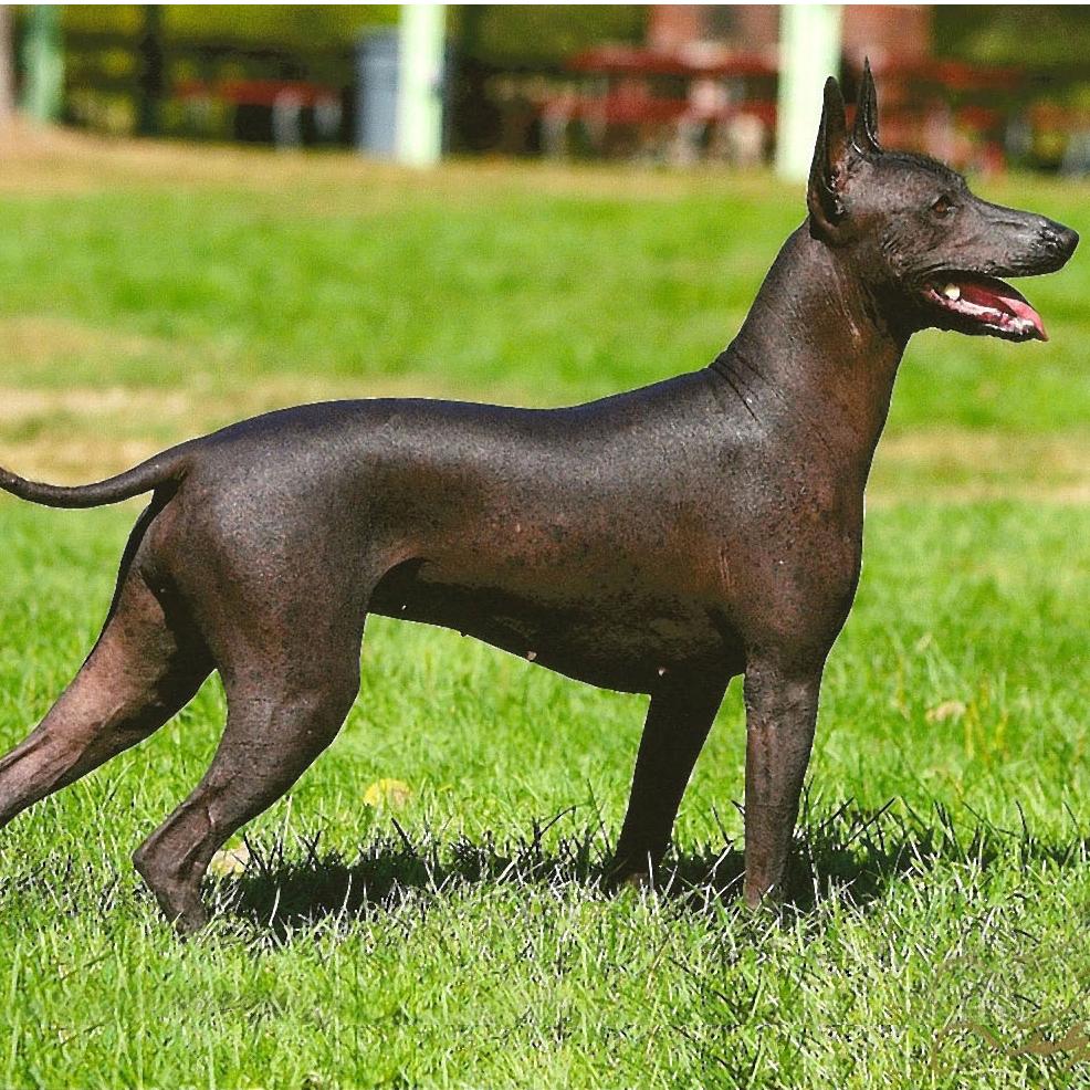 Породы голых пород собак