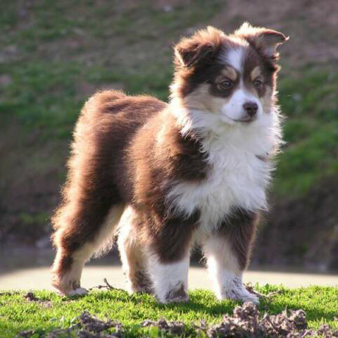 Miniature Australian Shepherd Breed Guide - Learn about the
