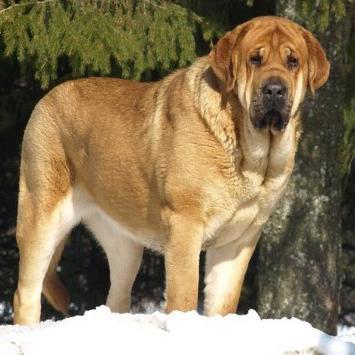 Spanish Mastiff Breed Guide Learn About The Spanish Mastiff