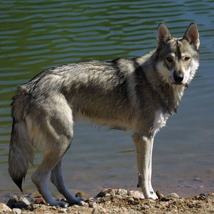 Tamaskan Dog Breed Guide Learn About The Tamaskan Dog