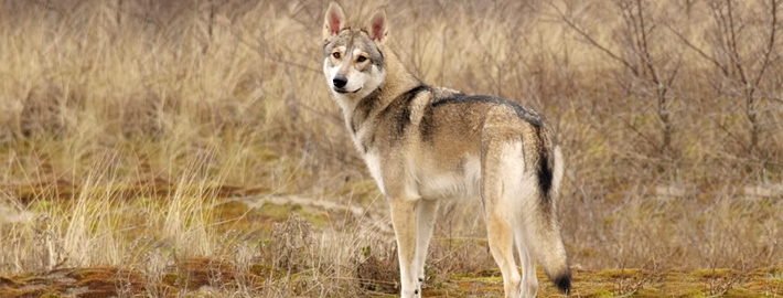 Tamaskan Dog Breed Guide Learn About The Tamaskan Dog
