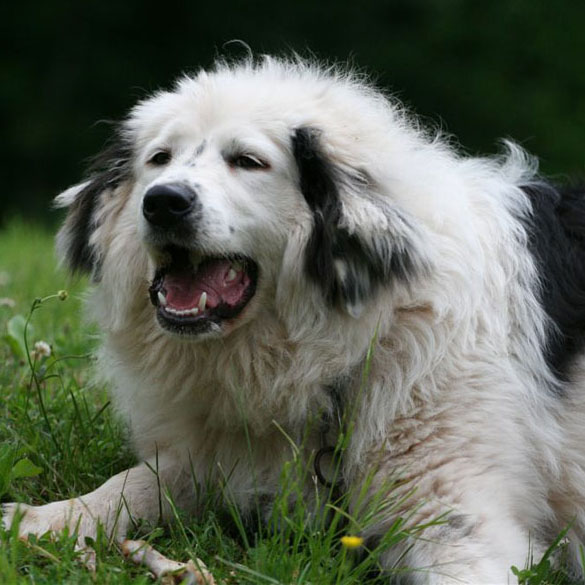 ... dog breeds medium dog breeds large dog breeds giant dog breeds dog