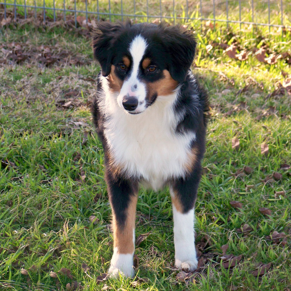 Miniature Australian Shepherd Breed Guide - Learn about ...