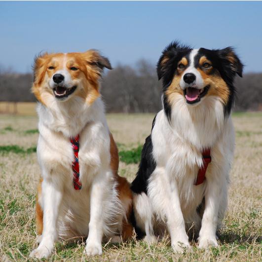 welsh sheepdog breed guide