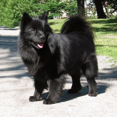 Swedish Lapphund Breed Guide - Learn about the Swedish ...