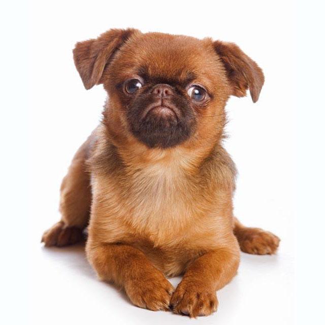 Dog Breed Griffon Bruxellois
