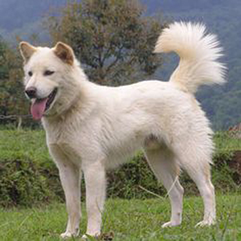 Indian Spitz Breed Guide Learn About The Indian Spitz