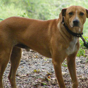 Mountain Cur Breed Guide Learn About The Mountain Cur