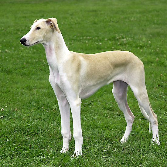 Polish Greyhound Breed Guide - Learn about the Polish ...