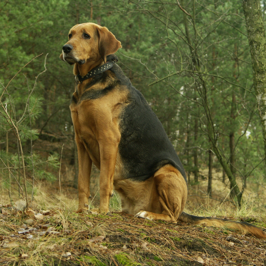 Learn About The Polish Hound