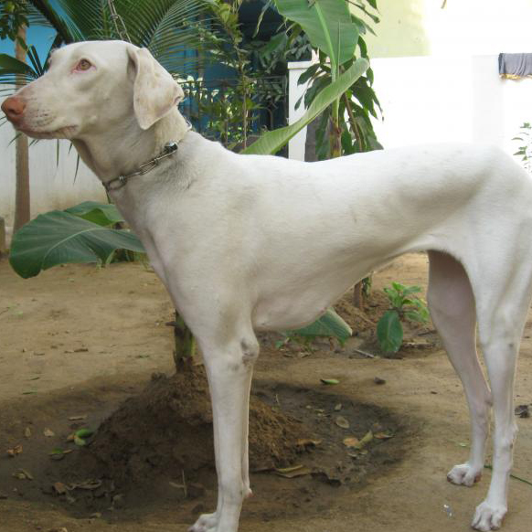Rajapalayam Breed Guide Learn About The Rajapalayam
