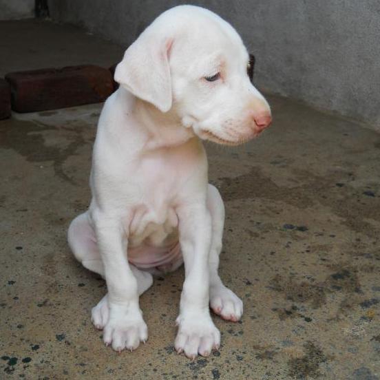 Rajapalayam Dog Black