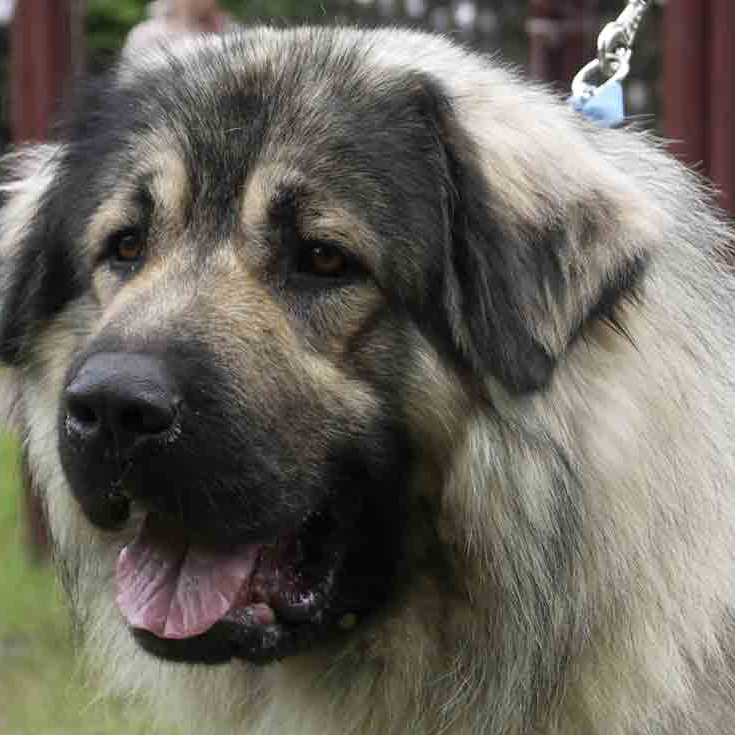 Sarplaninac Breed Guide Learn About The Sarplaninac