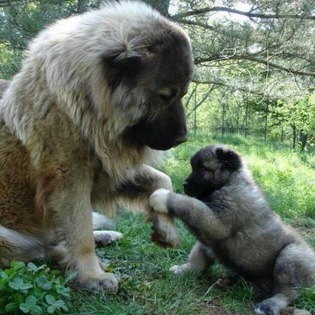 [Image: Sarplaninac-mommy-and-puppy.jpg]