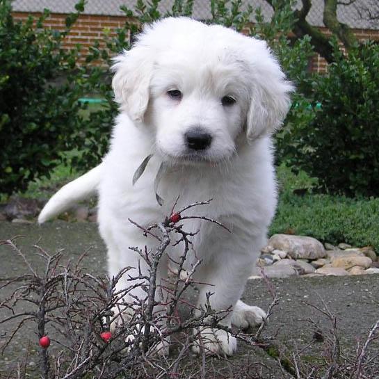 slovak cuvac breed guide