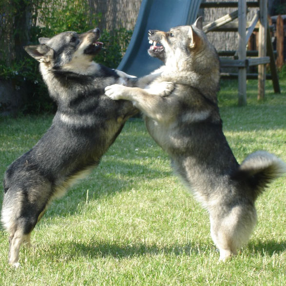 Swedish Vallhund Breed Guide - Learn about the Swedish ...
