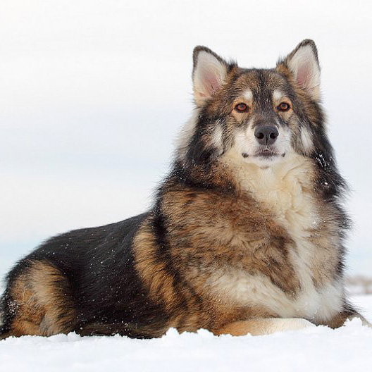 Utonagan Breed Guide Learn About The Utonagan