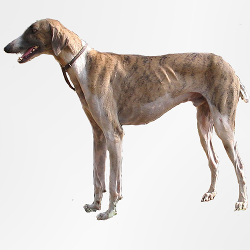 Mudhol Hound - Intillegent and Devoted | Dog Breed Guide