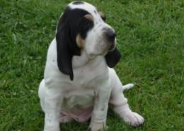 Petit Gascon Saintongeois Pup