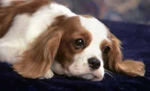 Very Cute Cavalier-King-Charles-Spaniel