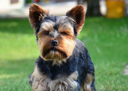 """Yorkshire Terrier kurz"" by Christian Glöckner - Own work. Licensed under CC BY-SA 3.0 via Wikimedia Commons - https://commons.wikimedia.org/wiki/File:Yorkshire_Terrier_kurz.jpg#/media/File:Yorkshire_Terrier_kurz.jpg"