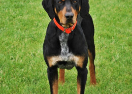 Beautiful Transylvania Hound Dog
