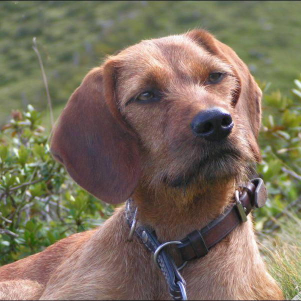 Styrian Coarse Haired Hound Breed Guide Learn About The