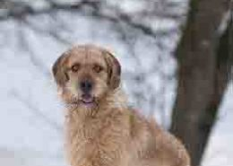 Styrian Coarse-Haired Hound Image